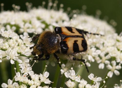 Trichius fasciatus (Pinselkäfer) 29 Juni 08 Tiefenbachklamm