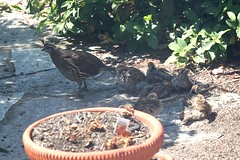 Mom and Baby Quail