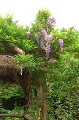 Wisteria - second flowering this year (hardworkinghippy) Tags: yellowrose goodies rootcellar climbingrose ladybanksrose hardworkinghippy theglorietteandbackbank rosabanksiaelutealadybanksrose creatingacellar undergroundfoodstore keepingfoodwithoutrefrigeration hardworkinghippygoodiesforslideshow permaculturephotos