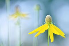 Coneflower Dreams (NaturalLight) Tags: park creek kansas coneflower wildflowers prairie wichita excellence chisholm blueribbonwinner flowerotica mywinners abigfave chisholmcreekpark platinumphoto grayhead