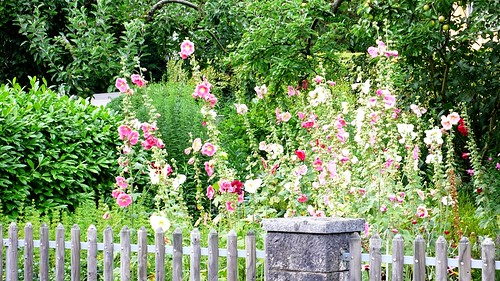Hollyhocks seen in a garden in St. Niklaus, Feldbrunnen