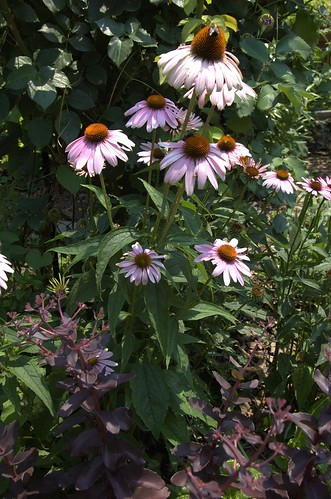 Echinacea and Sedum