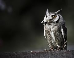[フリー画像] [動物写真] [鳥類] [猛禽類] [梟/フクロウ] [コノハズク]      [フリー素材]