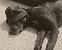 Chase's rough night (vegasjunkie001) Tags: dog hat rough prada dogdayafternoon