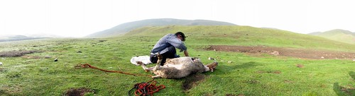 Skinning a sheep near O-po, Qinghai Province, China