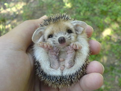 More from my baby (BlueLunarRose) Tags: baby cute nature animal hedgehog bec cuteanimal cherryontop golddragon abigfave theunforgettablepictures hedg goldstaraward goldenheartaward 100commentgroup