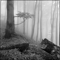 Fog #2 (Stefan K0n@th) Tags: wood bw mist 6x6 fog forest square haze kodak availablelight hasselblad tmax100 beeches 500cm sonnar carlzeiss 500x500 xtol12 autaut 4150mm winner500