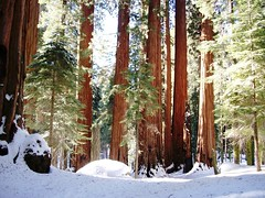 Grove of redwoods known as The House along Congress Trail, Sequoia National Park - sequoia116x (mlhradio) Tags: california trees snow redwoods sequoia sequoianationalpark thehouse sequoianationalforest congresstrail mlhradio