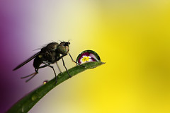 Small fly and dewdrop #2 (Lord V) Tags: macro water bug insect fly dewdrop refraction vosplusbellesphotos