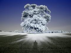 obeisance (zachstern) Tags: trees sunset shadow wallpaper sky tree self canon landscape ir arbol tr boom rbol infrared  albero tre puu arbre rvore strom baum myshadow trd  infravermelho copac infrarot obeisance  ircamera mytree  drzewo   g9 stablo infrarrojos   infrapuna infrarood infrarouge  infrarossi   xpb  maxmaxcom inframerah    zexplored  infravrs xnitecanong9 infraerven
