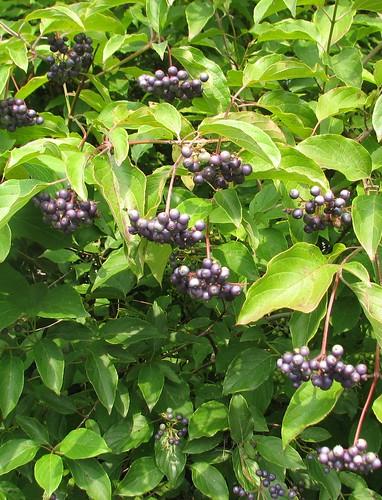 red stemmed dogwood berries