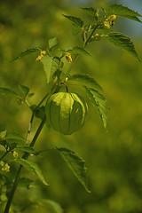 Tomatiljo