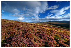 heather blossom (Janek Kloss) Tags: road ireland dublin plant mountains color photo nikon colours fotograf photos blossom heather military violet sigma august tourist irland eire fotka co bloom flowering blossoming fotografia mapping 2008 wicklow 1020 tone attraction zdjecia irlanda mapped ierland j23  zdjecie fotki irlandia   hwdp d80  nothdr lirlande platinumphoto fotosy  theunforgettablepictures   moli516