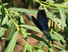 libelinha azul