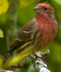 Elder Statesman (T i s d a l e) Tags: red brown nature birds pose wildlife feathers perch elders housefinch backyardbirds 70300mmlens malehousefinch nikon40d thewonderfulworldofbirds grayatthetemples