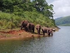 Elephants in Thekkady (Kummatti) Tags: india lake nature wildlife kerala elephants sanctuary thekkady periyar periyarwildlifesanctuary kumaly