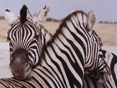 Namibia, Etosha - Zebras beim Schmusen,  9 v (roba66) Tags: animal animal