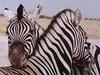 Namibia, Etosha - Zebras beim Schmusen,  009 (roba66) Tags: animal animals tiere zebra namibia liebe tier etosha deutschetelekom 10faves fabuleuse invitedby vanagram 100commentgroup christiangroup saariysqualitypictures roba66