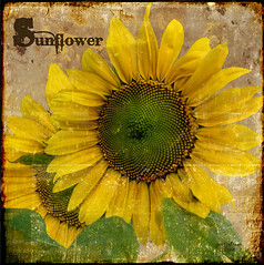 Everyone Needs to Photograph a Sunflower...It's Your Civic Duty! (Jerri Johnson (away)) Tags: flowers flower green texture floral yellow vintage text sunflower font faux title bec dictionary herbal cubism firstquality justimagine masterphotos mywinners goldenphotographer memoriesbook novavita worldsbestdazzlingshots goldenglobe1 multimegashot flickrplatinumgroup inthememoriesbook lightintheblueroom