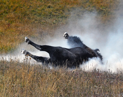 Bull Bison rolling in dirt, Hayden Valley - 0417b