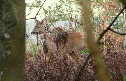 Glimpse of a deer through trees and bracken