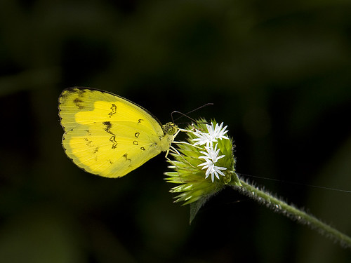 Common Grass Yellow @ Genting