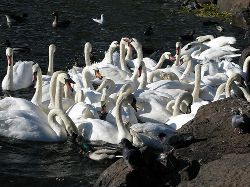 Busy Birds on the hunt for a few breadcrumbs in St. Margarets Loch, Holyrood Park