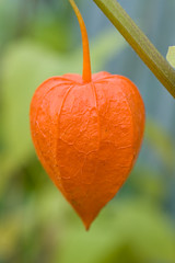 Physalis alkekengi * ,    (v.plessky) Tags: flowers autumn orange flower macro fall nature raw russia seed vivid sigma explore dynax7d maxxum7d bloom fabulous jpeg 2008 physalis chineselantern  konicaminolta solanaceae seedbox alr   naturesfinest     sigmalens wintercherry physalisfranchetii physalisalkekengi lampionplant topshots bej alkekengi konicaminoltadynax7d masterphotos  rawjpeg abigfave husktomato miechunka blasenkirschen judenkirsche coqueret  familysolanaceae diamondclassphotographer schlotte strawberrytomato adoublefave vadimplessky theperfectphotographer macroelsalvador japanskelykter   panoramafotogrfico    fizalido dumpln lyktrtsslktet