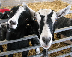 100 Things to see at the fair #86: Petting Zoo goats