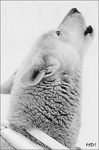 Alaskan Husky_1992_Bad Mitterndorf