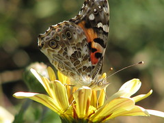 November Painted Lady - today!