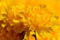 Rhapsody in Gold (Sevastopol) Tags: yellow gardens botanical gold nikon colorful ukraine nikkor nikita chrysanthemum crimea nikitsky rhapsody d300 сад крым ботанический украина никита никитски