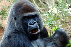 Hoping for a better day for these wonderful animals (tammyjq41) Tags: gorilla silverback tjs riverbankszoo columbiasc tjd specanimal animalkingdomelite anawesomeshot impressedbeauty vosplusbellesphotos