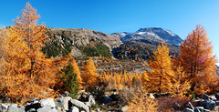 trees on fire (upsa-daisy) Tags: autumn mountains alps schweiz switzerland suisse herbst berge explore alpen svizzera larch engadin lrche oberengadin morteratsch graubnden grisons upperengadine grigioni explored mywinners