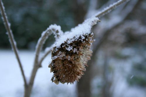 erster schnee sonnenblume