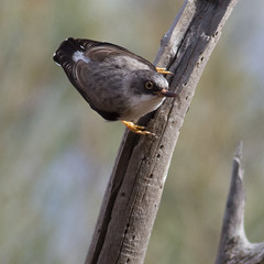 Varied Sittella (Female - nominate race) (petefeats) Tags: nature birds australia queensland australianbirds passeriformes bowra variedsittella daphoenosittachrysoptera neosittidae