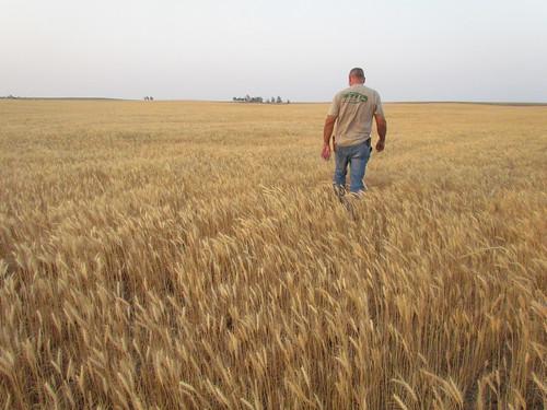 Pre-harvest in Arnett, Okla. (wheat still green)