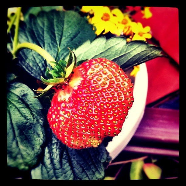 I will be a strawberry soon. Part V