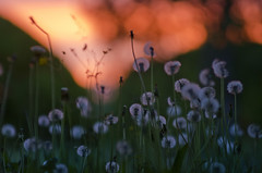 Good morning (Antti-Jussi Liikala) Tags: morning flowers red summer sky sun green grass june sunrise finland nikon bokeh nikkor f28 80200mm varkaus d7000