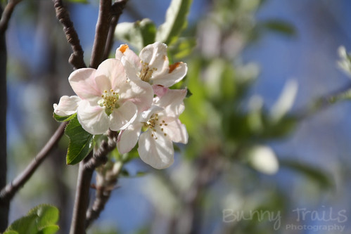 121-apple blossoms again
