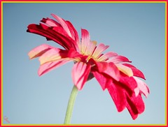 Simple Blessings. (TheriotGirl2) Tags: pink flowers sky flower gerbera