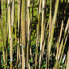 Parc de Maulévrier - Bambous