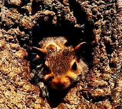 Let Me See...Let Me See...Come On...Let Me See!!!(remixed) (mightyquinninwky) Tags: baby tree squirrels infant nest kentucky lexingtonkentucky orphans frontyard knothole chevychase fontaineroad centralkentucky weened cenralkentucky urbanwildflife