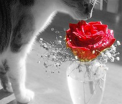 Happy Furry Friday, Flickr Friends! (nushuz) Tags: blackandwhite redrose selectivecolor the anawesomeshot ultimateshot flickrenvy diamondclassphotographer flickrdaimond theunforgettablepictures unforgettablepicture goldstaraward mitzikitty happyfurryfridayflickrfriends havearosyweekend