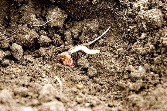 Sweet Corn Planting…