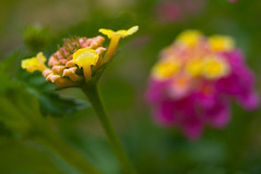 Dreaming of future (A. Saleh) Tags: flower nature yellow closeup nikon dof bokeh outdoor 55mm d200 lantana saleh asaad nikon1855mm platinumphoto anawesomeshot wwwasaadsalehcom