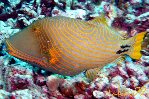 Orange-lined Triggerfish at Similan Islands, Thailand