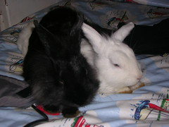 DSCN4692 (delilah84) Tags: bunnies animals guinea pig cavy rabbits animaux rodents fritz animali aku suria ronja conigli porcellino lapins cavia lagomorphs rongeurs roditori peruviano lagomorfi
