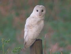 Barn Owl, Bintree Wood (Norfolk), 10-May-08 (Dave Appleton) Tags: bird birds barn alba norfolk owl barnowl tytoalba tyto bintree bintreewood