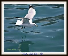 Taken After feeding (Sandra Whiteway) Tags: ocean seagulls water newfoundland bay flying feeding gulls baydeverde bired newfoundlandandlabrador